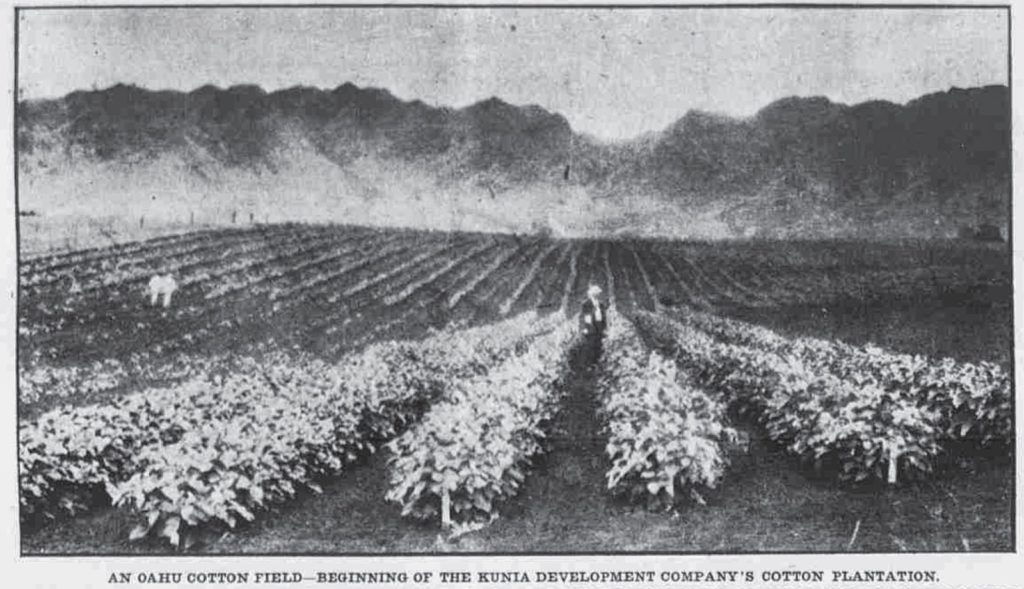 Cotton plantation in Oahu. Source: http://totakeresponsibility.blogspot.com/.