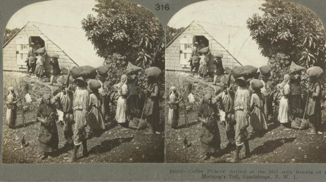 Coffee Pickers' Arrival at the Mill with Results of the Morning's Toil in 1904 on Guadeloupe, French West Indies in the Stereograph Collection (Schomburg Center Photographs and Prints Division).