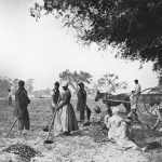 Enslaved African Americans hoe and plow the earth and cut piles of sweet potatoes on a South Carolina plantation, circa 1862-3 (Image courtesy of Library of Congress)